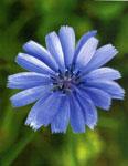 05-Chicory