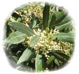 6-Olive